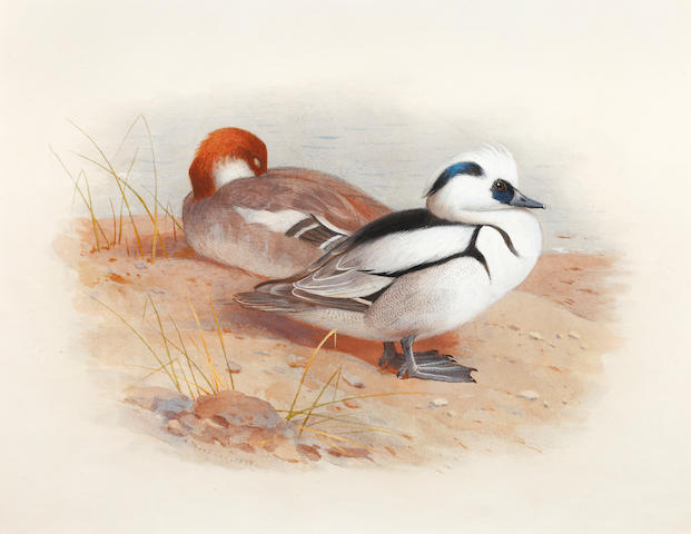Archibald Thorburn (British, 1860-1935) Study of a male and female smew
