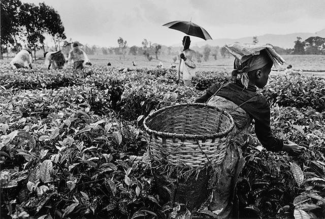 Sebastião Salgado (Brazilian, born 1944) Workers, Tea Plantation, Rwanda, 1991 Paper 50.8 x 60.6cm (20 x 23 7/8in), image 35 x 51.5cm (13 3/4 x 20 1/4in).