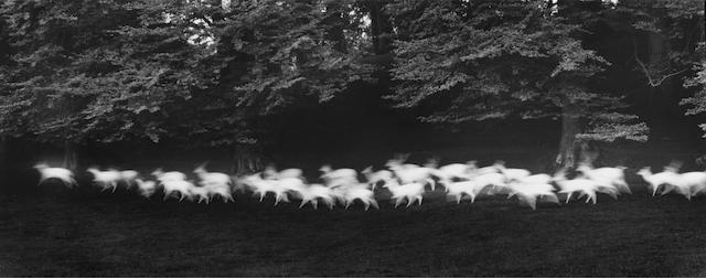 Paul Caponigro (American, born 1932) Running White Deer, Wicklow, Ireland, 1967 13.7 x 34.5cm (5 3/8 x 13 9/16in).