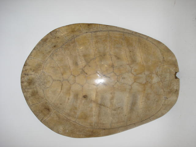 A blonde turtle shell,