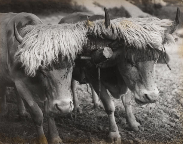 Brassaï (Gyula Halász) (Hungarian/French, 1899-1984) Two Harnessed Bulls, Aïnhoa, The Pyrenees, 1930s-40s