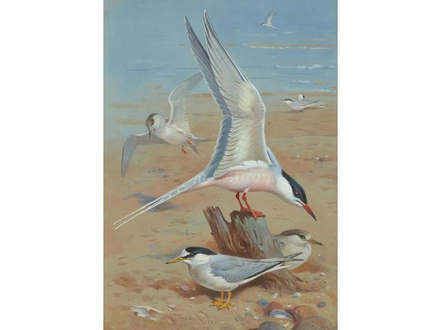 Archibald Thorburn (British, 1860-1935) Roseate Tern