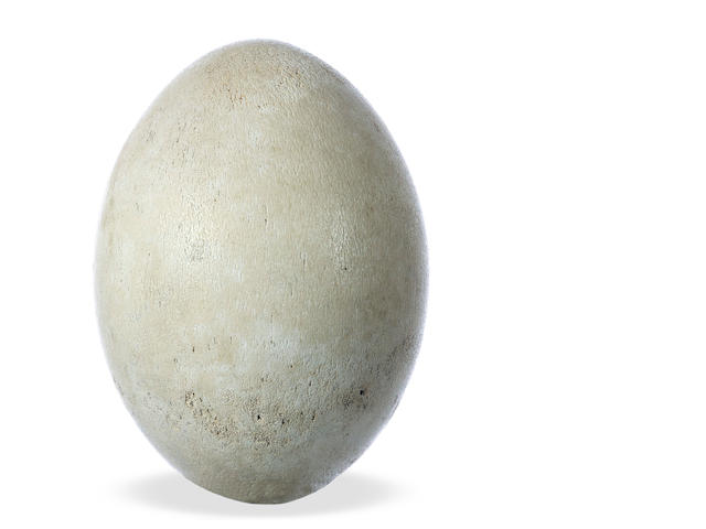 Elephant Bird (Aepyornis maximus) egg