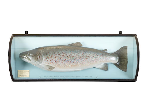 The former British Record trout, a Malloch cased trophyP.D.Malloch, Perth