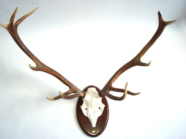 A pair of red deer antlers