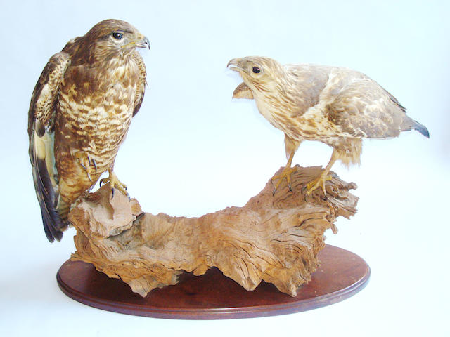A taxidermy specimen of a male and female buzzard