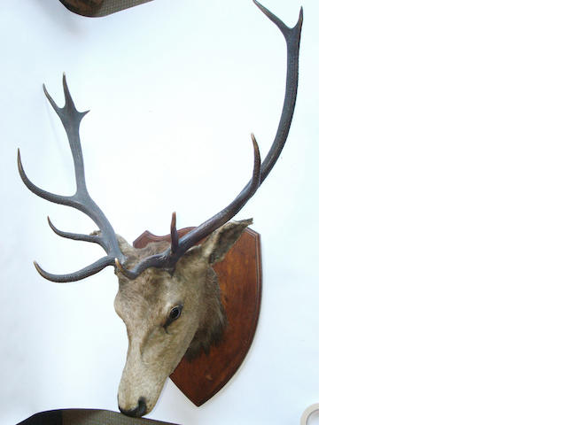 A 'Royal' red deer stags head