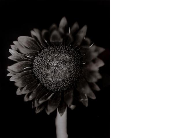 Chuck Close (American, 1940) Sunflower, 2007 Paper size 78 x 65 cm, image size 63 x 50.7 cm.