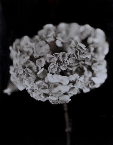 Chuck Close (American, 1940) Hydrangea, 2007 Paper size 78 x 65 cm, image size 65 x 50.6 cm.