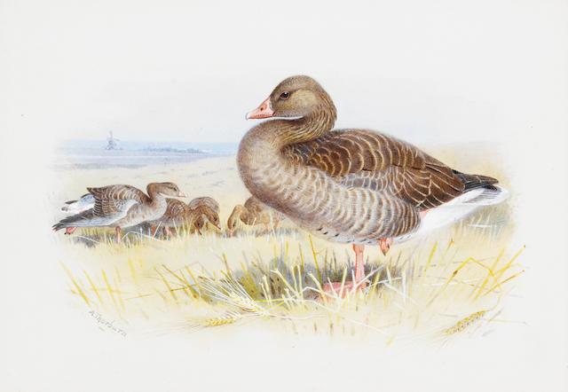 Archibald Thorburn (British, 1860-1935) Bewick's swan; Greylag goose, a pair