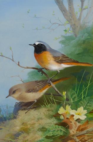 Archibald Thorburn (British, 1860-1935) Pair of Redstarts