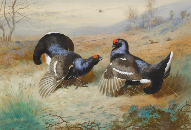 Archibald Thorburn (British, 1860-1935) Blackcocks at the Lek