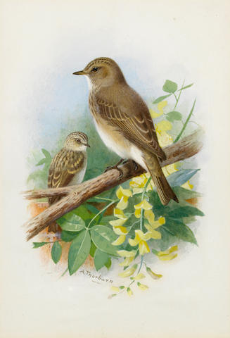 Archibald Thorburn (British, 1860-1935) Spotted Flycatchers
