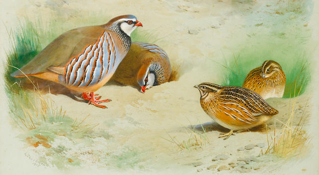 Archibald Thorburn (British, 1860-1935) French partridge and chicks