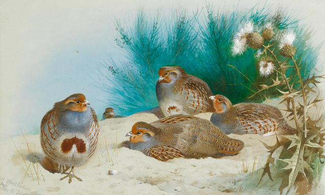 Archibald Thorburn (British, 1860-1935) English partridge with gorse and thistles