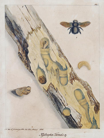 Rev Landsdown Guilding (British, 1798-1831) 'Horia maculata'; 'Xylocopa Teredo', a pair  of insect studies for engravings Together with three similar insect studies also for engravings by the same hand and a print after Waterhouse Hawkins of various scenes of elephants from India. (6)