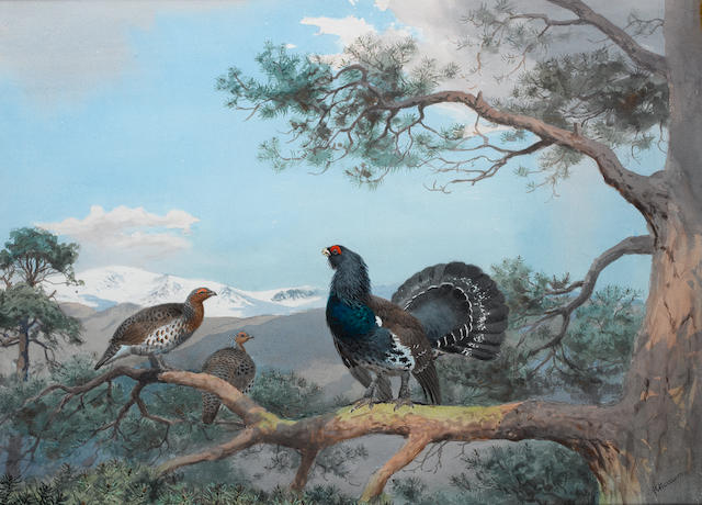 John Cyril Harrison (British, 1898-1985) Cock of the woods: Capercaillie in a pine forest