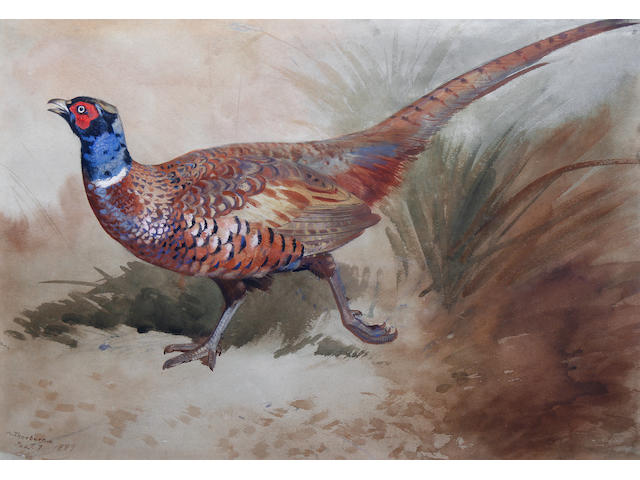 Archibald Thorburn (British, 1860-1935) A pheasant in the undergrowth