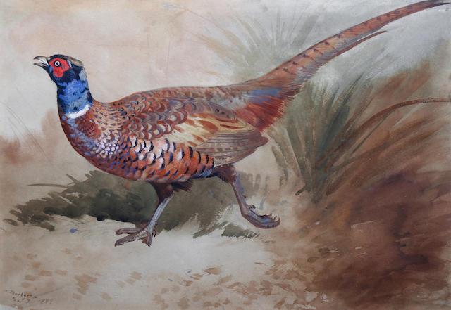 Archibald Thorburn (British, 1860-1935) A pheasant in the undergrowth