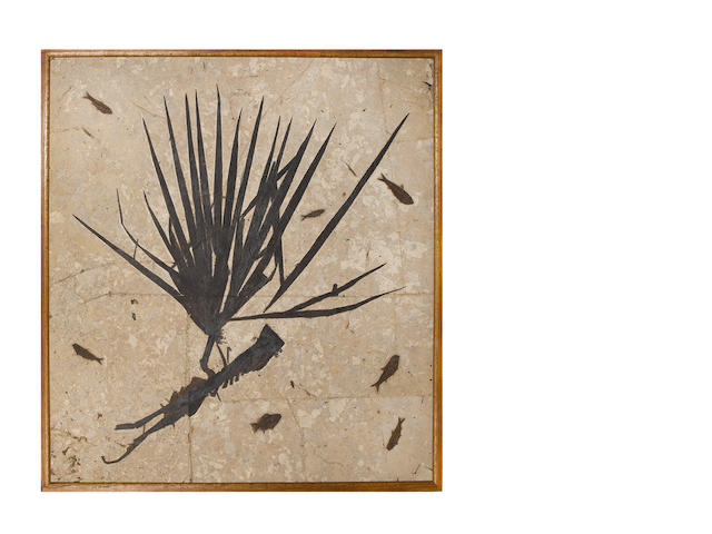 A palm frond fossil, Eocene period (55 million years ago),