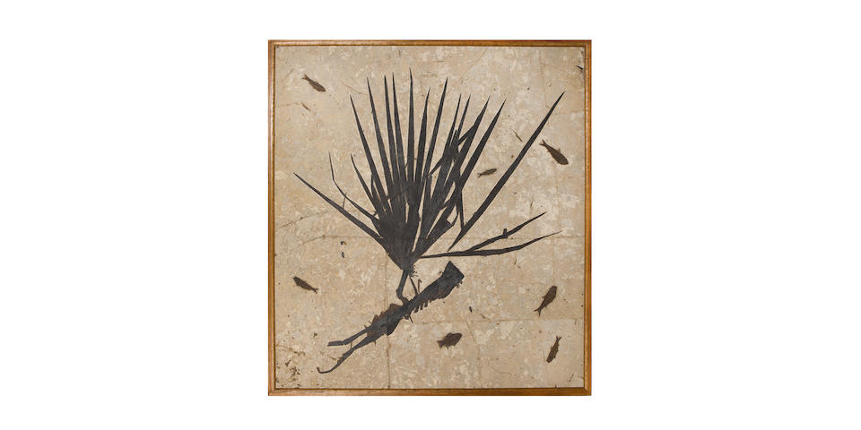 A palm frond fossil, Eocene period (55 million years old),