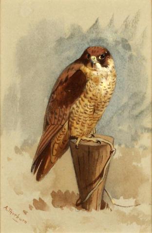 Archibald Thorburn (British, 1860-1935) Mediterranean Peregrine falcon
