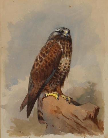 Archibald Thorburn (British, 1860-1935) Kestrel