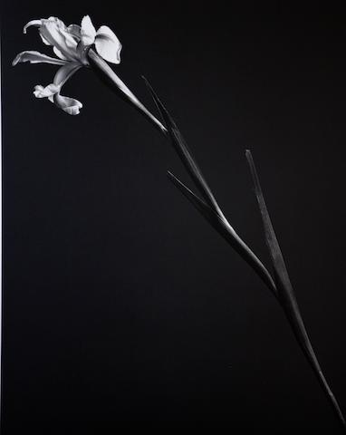 Robert Mapplethorpe (American, 1946-1989) Iris, 1982