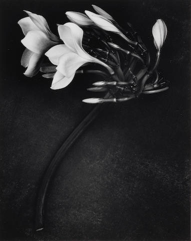 Albert Watson (Scottish, born 1942) Orchid, 1988 Paper 60.5 x 50.4cm (23 13/16 x 19 13/16in), image 34.4 x 27.4cm (13 9/16 x 10 13/16in).