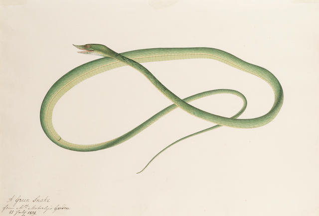 A green snake; and a bird with black and grey plumage with one of its eggs Company School, Calcutta or Madras, dated 25th July and 5th December 1839(2)