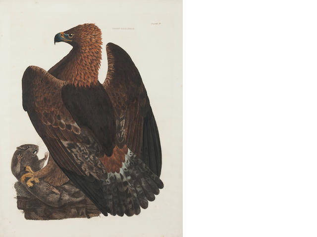After Peter Paillou Golden Eagle, female 54 x 41.5cm