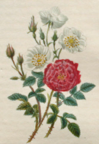 MALO (CHARLES) Histoire des roses, [1818]