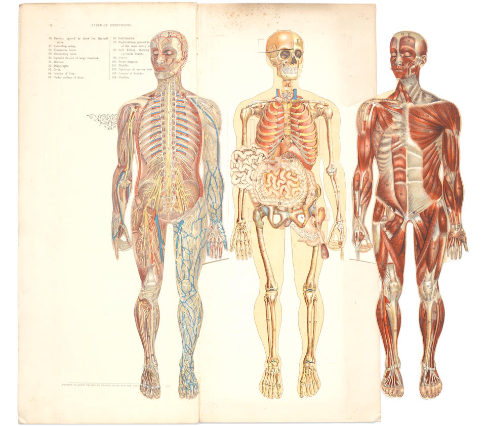 Philips' Model of the Human Body and Manikin, (2)