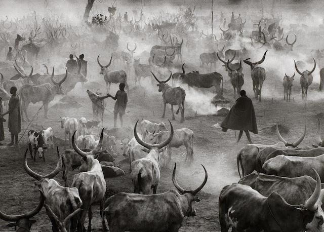 Sebastião Salgado (Brazilian, born 1944) Dinka cattle camp, Sudan, 2006 Paper 50 x 60.4cm (19 11/16 x 23 3/4in), image 36.7 x 50.7cm (14 7/16 x 19 15/16in).