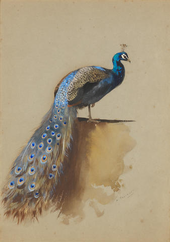 Archibald Thorburn (British, 1860-1935) Peacock
