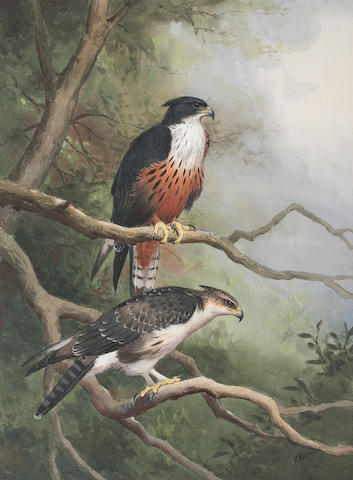 J C Harrison Chestnut Bellied Hawk Eagle