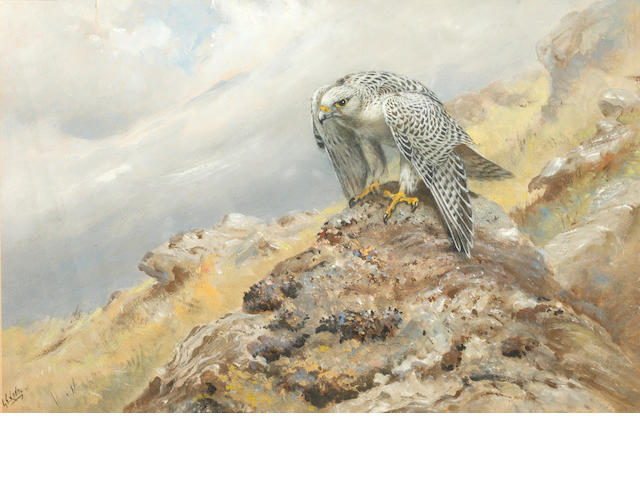 George Edward Lodge (British, 1860-1954) Hen harrier on a stone outcrop
