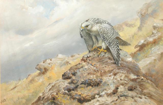 George Edward Lodge (British, 1860-1954) Hen harrier on a stone outcrop