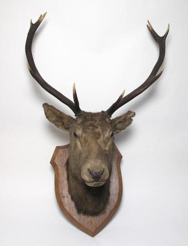 A 10 point red deer stags head