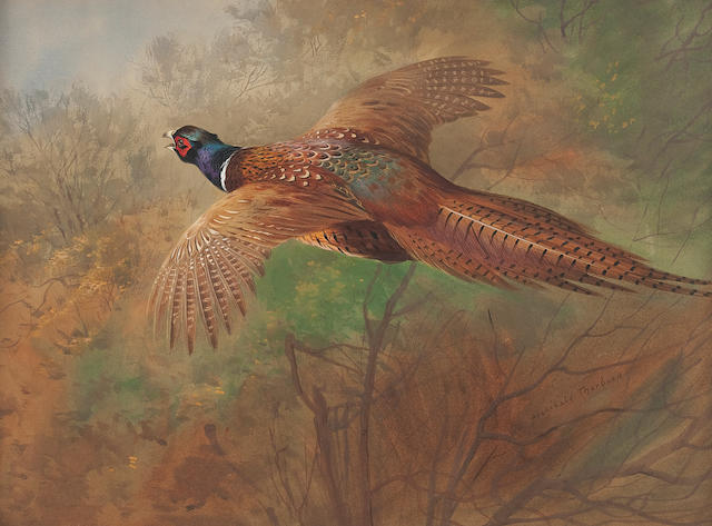 Archibald Thorburn (British, 1860-1935) Flying Pheasant