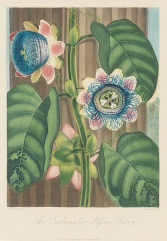 Dr Robert Thornton (Publisher) (London 1768-1837) Temple of Flora Aquatints with hand colouring, from the Quarto edition of 1812, including: 'Quadrangular Passion Flower', 'Narrow-leaved Kalmia', 'Indian Reed', 'Blue Egyptian Waterlily', 'Artichoke Protea', 'Sacred Egyptian Bean', 'The Dragon Arum' and 'Agave, or American Aloe', various artists and engravers including Reinagle, Henderson, Maddox, Stadler and Quilley, on wove, 240 x 180mm (9 1/2 x 7 1/8in)(I) (8)