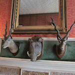 Five taxidermy gazelle heads