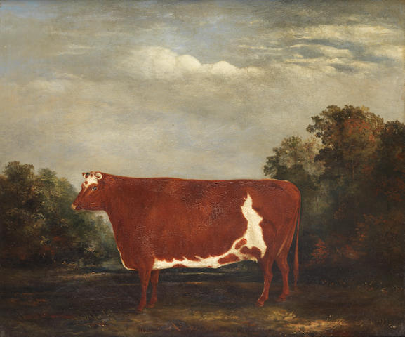English School, 19th century A brown and white shorthorn heifer