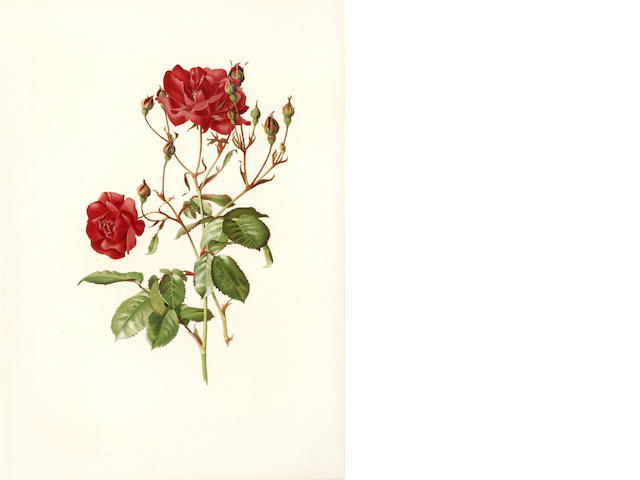 WILLMOTT (ELLEN ANN) The Genus Rosa, 2 vol.