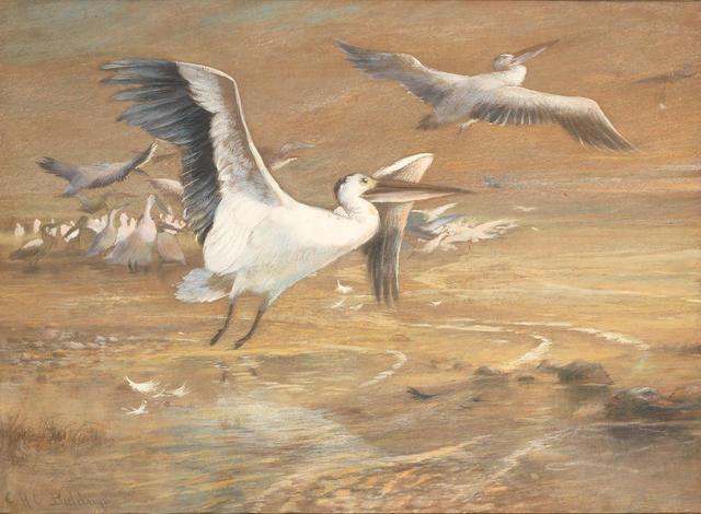 Charles Henry Clifford Baldwyn: a fine study of pelicans