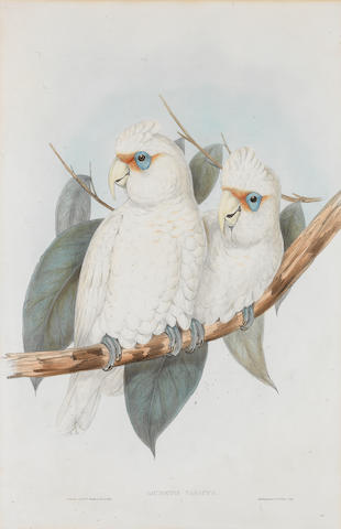 Gould & Richter (British) Five hand-coloured Lithographs from Birds of Australia  Carpophaga Magnifica (Magnificent Fruit Pigeon), Platycercus Flaviventris (Yellow-bellied Parrakeet), Licmetis Nasicus (Long-billed Cockatoo), Cacatua Leadbeateri (Leadbeater's Cockatoo), plus one by J&E Gould, Platycercus Adelaide (Adelaide Parrakeet), on wove paper, the first three published by Hullmandel & Walton, the remaining two by C.Hullmandel, 548 x 372mm (21 1/2 x 14 5/8in)(SH) (5)