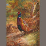 Archibald Thorburn (British, 1860-1935) Cock and hen pheasant in a woodland clearing