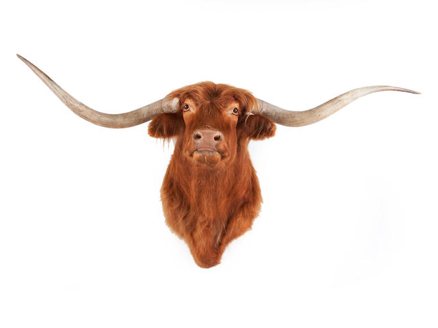 A Highland bullock taxidermy head