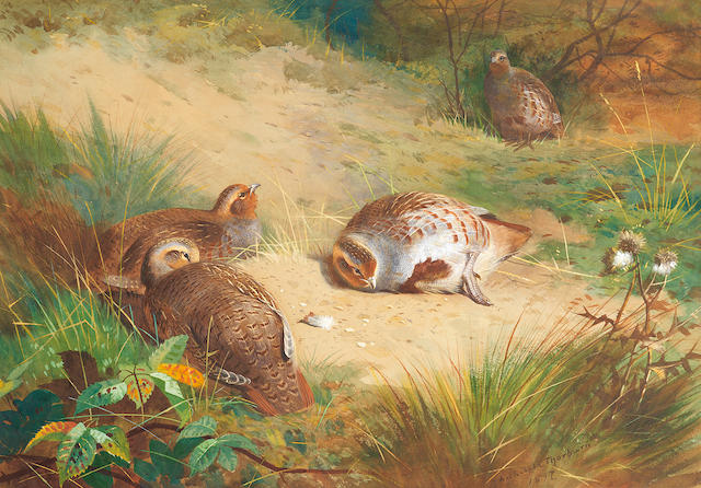 Archibald Thorburn (British, 1860-1935) Partridge resting