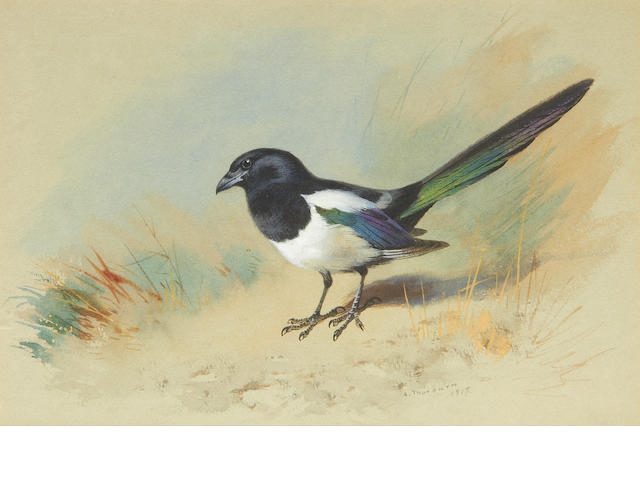 Archibald Thorburn (British, 1860-1935) Magpie